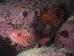 ML061689.jpg (alwayslaurenj) Tags: montereycarmel pointlobos reefcheck vcr vermillianrockfish