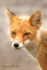 Foxy Portrait (Sharon's Nature) Tags: photooftheday nationalgeographic lakeclarknationalpark canine redfox wildlifephotography mammal portrait canon alaska wildlife wild fox vulpesvulpes