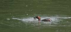 Little Grebe-8156 (WendyCoops224) Tags: 100400mml 80d forestofdean canon eos ©wendycooper blog little grebe