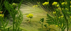 Herbes folles... (Madeleine Dubois) Tags: fabuleuse