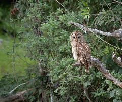Barred Owl (Alison Aslett) Tags: owl barred wildlife