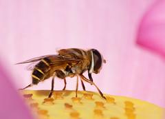 Honey Bee (ksharp2) Tags: bee honey insect wings stinger flower yellow pink summer lotus