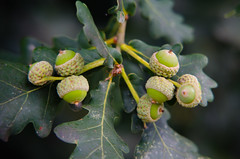 Seven green acorns (Dave_A_2007) Tags: acorn fruit nature nut oak plant tree wolverhampton westmidlands england