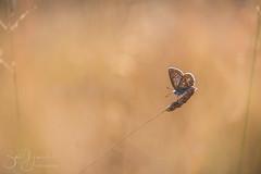 icarus blue (Bart Hardorff) Tags: shertogenbosch 2018 barthardorff moerputten thenetherlands blauwtje butterfly icarus icarusblauwtje juli vlinder vught noordbrabant nederland