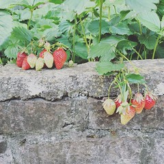Strawberry (alyna16) Tags: nature spring summer fraise strawberry garden