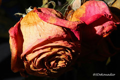Dried Roses (Stephenie DeKouadio) Tags: canon photography beautiful beauty flower flowers macrophotography macro darkandlight light shadow shadows roses rose
