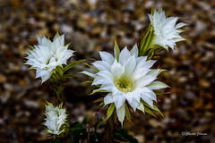 _DSC2532 (Chester Johnson) Tags: echinopsis flowersplants cactus landscape white
