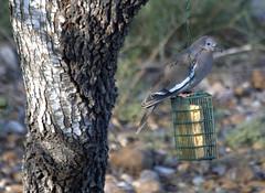 Gangbanger Dove (austexican718) Tags: texas native fauna centraltexas hillcountry wildlife backyard bird birdfeeder dove tree liveoak bark