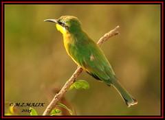 LITTLE BEE-EATERS (Melittophagus pusillus).....MASAI MARA.....SEPT 2015 (M Z Malik) Tags: nikon d3x 200400mm14afs kenya africa safari wildlife masaimara kws exoticafricanwildlife exoticafricanbirds birds ngc npc