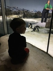 "Paul Watches Penguins at the Kansas City Zoo • <a style=""font-size:0.8em;"" href=""http://www.flickr.com/photos/109120354@N07/29676087108/"" target=""_blank"">View on Flickr</a>"