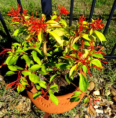 Mexican Firebush (austexican718) Tags: centraltexas hillcountry garden flower pots sonyphotographing