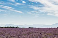 Plâteau de Valensole ( 04 ). (Eric83400) Tags: lavende valensole plateaudevalensole