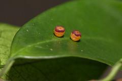 IMG_8029  雙尾蛺蝶卵 Polyura eudamippus formosana (Rothschild, 1899) (vlee1009) Tags: 2018 60d canon july taipei taiwan macro 內溝溪 butterfly eggs