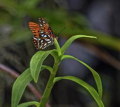 Resting (ACEZandEIGHTZ) Tags: butterfly plant bokeh nikon d3200 gulf fritillary orange agraulis vanillae coth coth5 naturethroughthelens