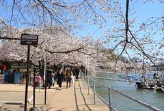 DSC_0085 (afagen) Tags: washington dc washingtondc districtofcolumbia tidalbasin cherryblossom sakura blossom sign