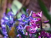 Spring (R_Ivanova) Tags: nature flower flowers spring garden plant pink hyacinth colors color blue bokeh outdoor sony rivanova риванова природа пролет цветя зюмбюл цвят макро градина