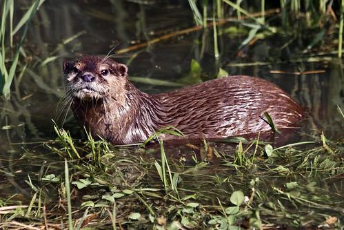 European otter (0199)
