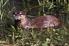 European otter (0199) (Le Photiste) Tags: clay lutralutra europeanotter eurasianotter eurasianriverotter commonotter oldworldotter fischotter loutredeurope loutreeuropéenne nutriaeuropea paleártica oostvaardersplassenlelystadthenetherlands lelystadthenetherlands animals nature naturesprime rainbowofnaturelevel1red planetearthnature planetearth planetearthwildlife wildlife afeastformyeyes aphotographersview autofocus artisticimpressions blinkagain beautifulcapture bestpeople'schoice creativeimpuls cazadoresdeimágenes canonflickraward digifotopro damncoolphotographers digitalcreations django'smaster friendsforever finegold fairplay greatphotographers peacetookovermyheart hairygitselite ineffable infinitexposure iqimagequality interesting inmyeyes lovelyflickr livingwithmultiplesclerosisms myfriendspictures mastersofcreativephotography niceasitgets ngc photographers prophoto photographicworld photomix soe simplysuperb saariysqualitypictures showcaseimages simplythebest thebestshot thepitstopshop theredgroup thelooklevel1red simplybecause vividstriking wow worldofdetails yourbestoftoday water rareanimal otter waterlife