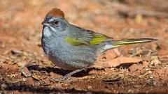 Green-tailed Towhee (Eric Gofreed) Tags: arizona greentailedtowhee mybackyard sedona towhee villageofoakcreek yavapaicounty