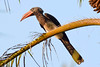 CROWNED HORNBILL (stewartbentley46) Tags: africa crownedhornbill hornbill ngezifr pemba tanzania
