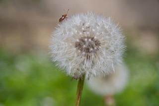 die Pusteblume und der Käfer