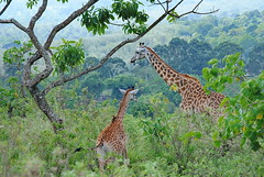Масайский жираф, Giraffa camelopardalis tippelskirchi, Masai Giraffe (Oleg Nomad) Tags: масайскийжираф giraffacamelopardalistippelskirchi masaigiraffe африка танзания сафари аруша природа животные africa tanzania arusha safari animals nature travel