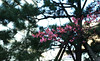 A touch of pink (DameBoudicca) Tags: tokyo tokio 東京 japan nippon nihon 日本 japón japon giappone atago 愛宕 flower blossom blomma blüte flor fiore fleur 花 はな plumblossom ume japanischepflaume albaricoquejaponés 梅 うめ abricotierdujapon mume umé prunusmume japaneseapricot