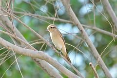 SHRIKE BIRD (RAMI SABER DAHMOUS) Tags: rami nikon d500 shrike alshaeedpark ramidahmous shaheedpark nikond500 lens70300vr
