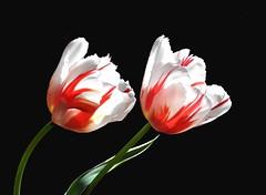 In bianco e in rosso (Melisenda2010) Tags: flora tulipani primavera coth coth5