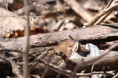 Coyote Pup at Maybury State Park (Northville, Michigan) - April 2018 (cseeman) Tags: parks stateparks michiganstateparks departmentofnaturalresources michigandepartmentofnaturalresources northville michigan maybury mayburystatepark trees trails paths nature publicparks wildlife mayburyapril2018 kits foxkits redfoxes redfoxkits animals foxes mayburyapril2018foxkits pups coyotepups coyote mayburyapril2018coyotepups