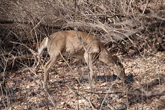 Deer at Maybury State Park (Northville, Michigan) - April 2018 (cseeman) Tags: parks stateparks michiganstateparks departmentofnaturalresources michigandepartmentofnaturalresources northville michigan maybury mayburystatepark trees trails paths nature publicparks wildlife mayburyapril2018 animals deer mayburyapril2018deer