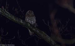 """Cazadora en las tinieblas"" (robertonatura) Tags: carabo tawnyowl hunting rat rapacesnocturnas forest wildlife tree"