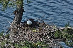 060 (2) Three Days Old (srypstra) Tags: baldeagle eaglet nest begging yawning chick