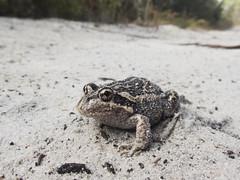 Eastern Banjo Frog (Baractus) Tags: bruny island tasmania australia eastern banjo frog john oates inala nature tours