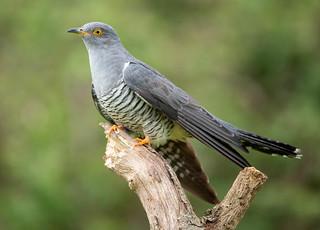 Cuckoo...2