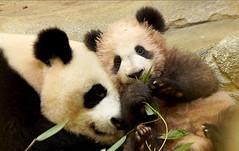 """Yuam Meng """"Ruffle Muffin"""" with mama Huan Huan (heights.18145) Tags: yuanmeng rufflemuffin zooparcdebeauval france panda huanhuan"""