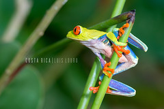 Red-eyed Tree Frog (Luís Louro) Tags: frogs forest costarica closeup colors rainforest wildlife wildlifephotography animals amphibian nature nikon centralamerica anuran red macro louro