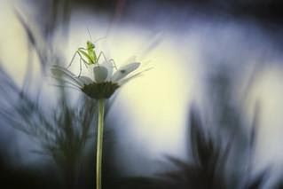 Little mantis