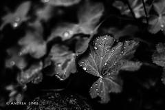 still lifes... (andrealinss) Tags: schwarzweiss bw blackandwhite andrealinss 35mm drop tropfen stilllifes garden jardin garten
