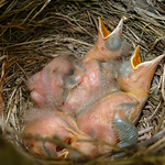 Common Blackbird (Turdus merula) brood with 4 chicks ... thumbnail