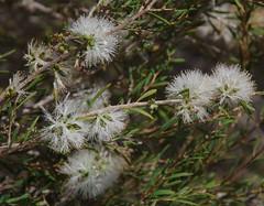 Melaleuca acutifolia, Jandakot Regional Park, near Perth, WA, 10/02/18 (Russell Cumming) Tags: plant melaleuca myrtaceae jandakotregionalpark perth westernaustralia melaleucaacutifolia
