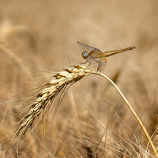 Cornfield Dragon :-)
