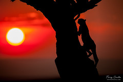 Cheetah climbing a tree at Sunset (Tony Costa (eTravelPhotos)) Tags: cheetahs silhouette africa kenya sunsets masaimara sunrises specanimal tree