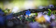 Lean On Me (matt.kueh) Tags: flower plant liverwort kidnewort liverleaf leberblümchen hepaticanobilis frühling spring bokeh vintagelens bokehlicious m42 depthoffield manualfocus helios40285mmf15 sonya7ii sonyilce7m2