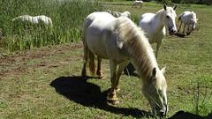 Pastura per a cavalls