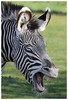 Q: Whats black and white and red all over? A: A sun-burned zebra! (joannekerry) Tags: zebra jokes yorkshirewildlifepark wildlife nature canon funny