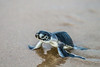 Green turtle hatching, Boambie (Environment + Heritage NSW) Tags: coffsharbour coffscoast greenturtle rare endangered