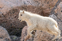 Mountain Goat kid bounds by - Sequence - 17 of 17