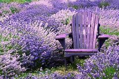 Lavender Adirondack (emerge13) Tags: lavande lavender nature flowers fields flowerfields chairs champsfleuris fleurs tcp saariysqualitypictures