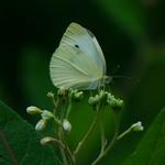 Cabbage White nectaring on Dogbane thumbnail